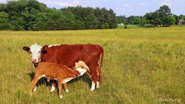 Calf Nursing in the Fields