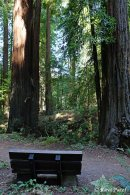 A Bench in the Redwoods
