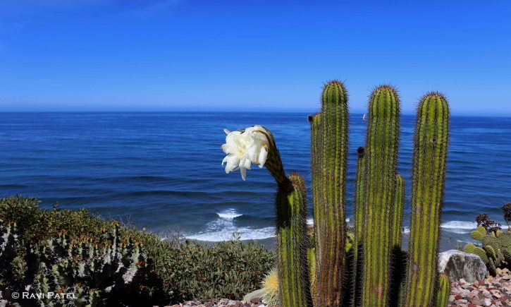 Cacti by the Sea