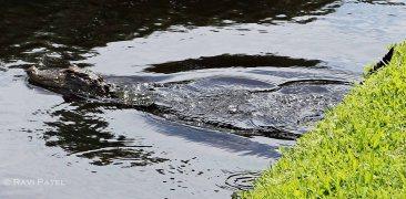 Gator Splash