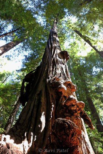 Burls on Redwood Trees
