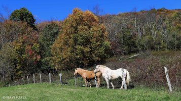 Horses in Fall