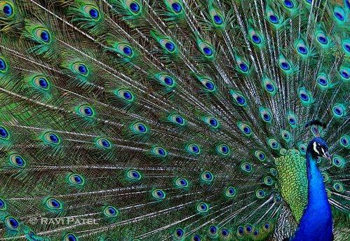Peacock Grandeur
