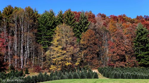 Fall on a Tree Farm