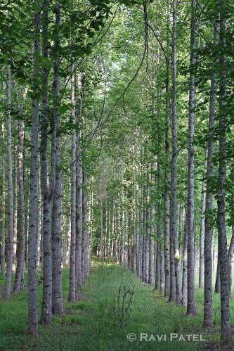Poplar Trees with Leaves