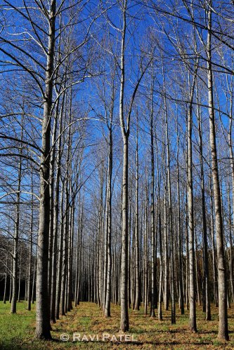 Poplar Trees without Leaves