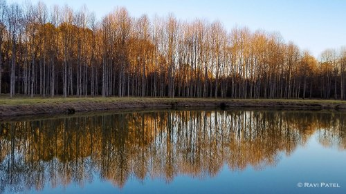 Poplar Tree Reflectons at Golden Hour