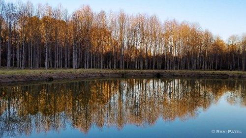 Poplar Tree Reflectons at Golden Hour