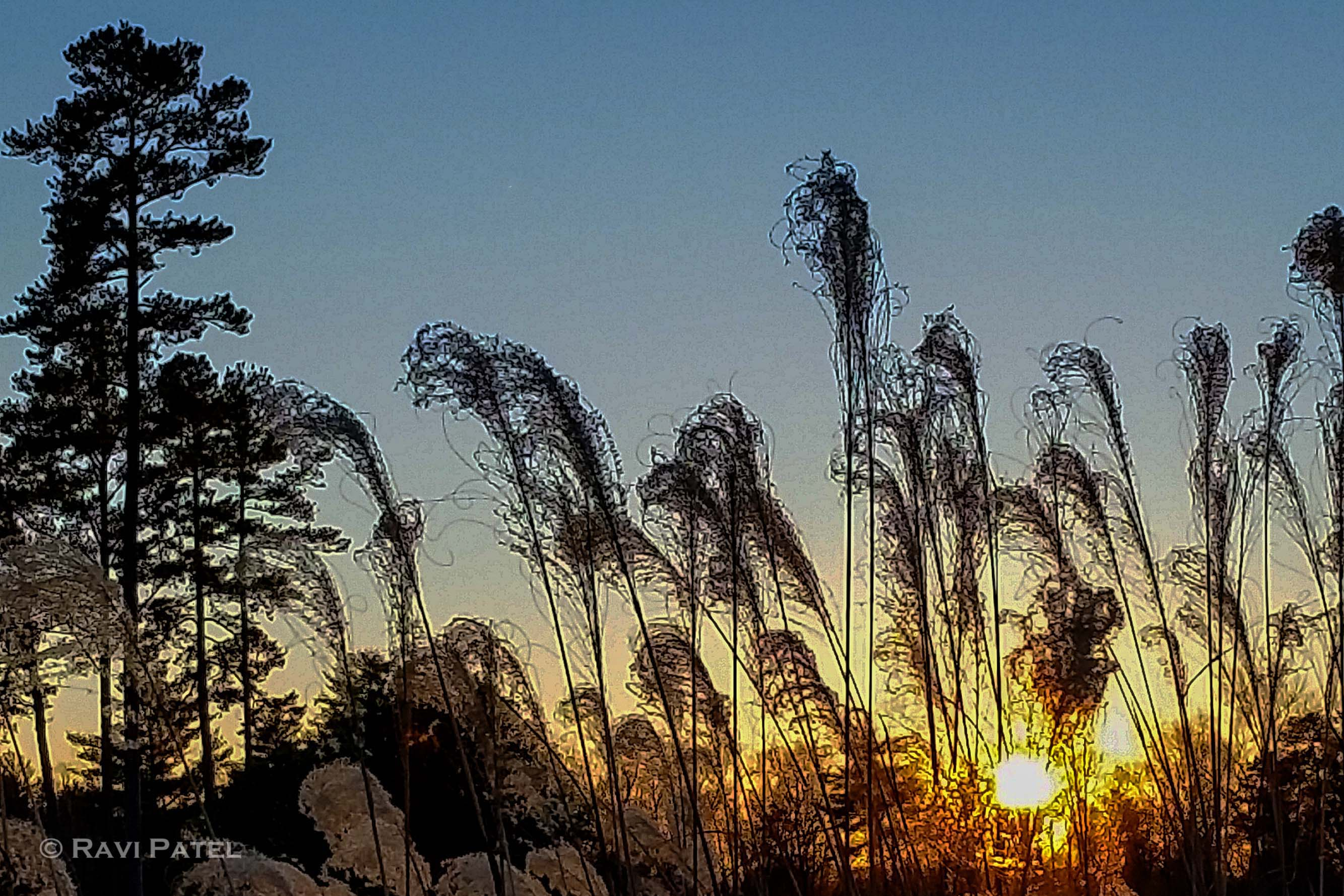 Tall Grass Silhouette at Sunset | Photos by Ravi