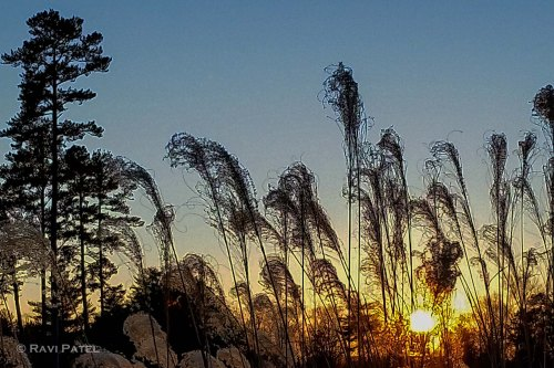 Tall Grass Silhouette at Sunset
