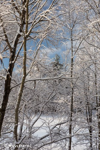 Looking Through Branches Loaded with Snow