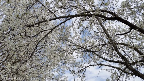 A Canopy of Blossoms