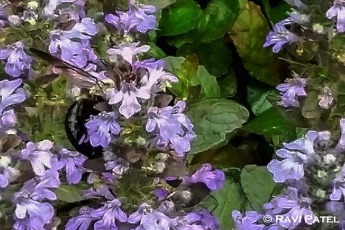 A Bee Engrossed in Flowers