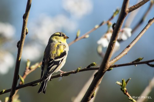A Finch Framed by Spring Growth