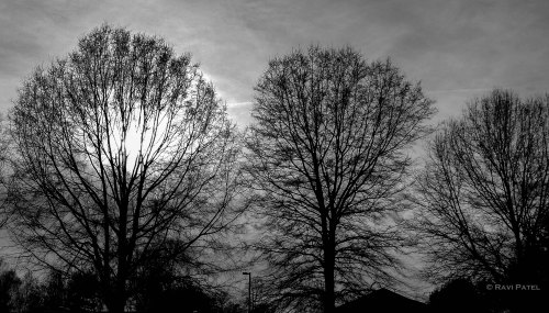 Tree Silhouettes in B&W