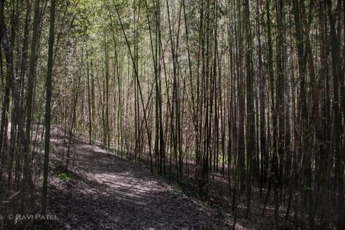 A Walk Through the Bamboo Trees