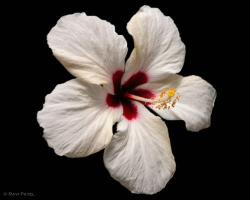 A White Hibiscus Highlighted
