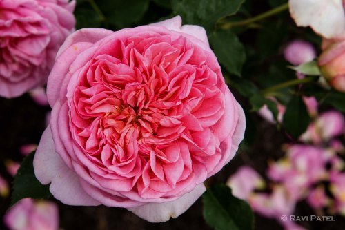 A Tightly Packed Rose