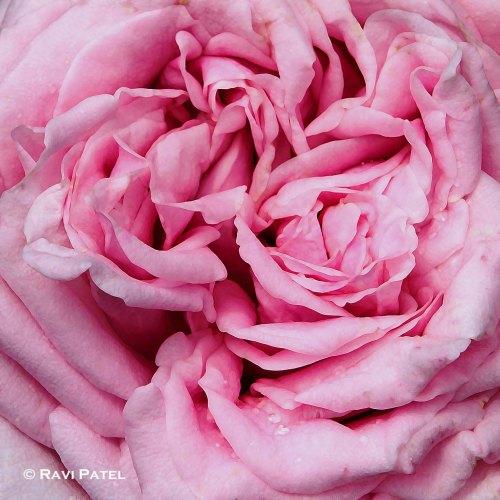 The Softness of a Rose
