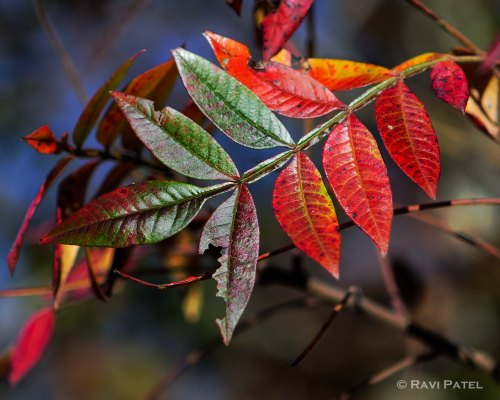 Changing Leaf Colors