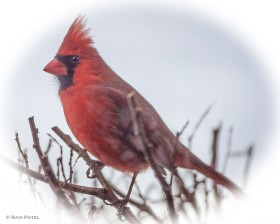 A Soft Portrait of a Northern Cardinal