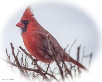 A Soft Portrait of a Northern Cardinal