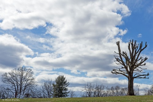 An Overtrimmed Tree Against the Clouds