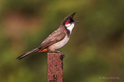 A Juvenile Red Whiskered Bulbul