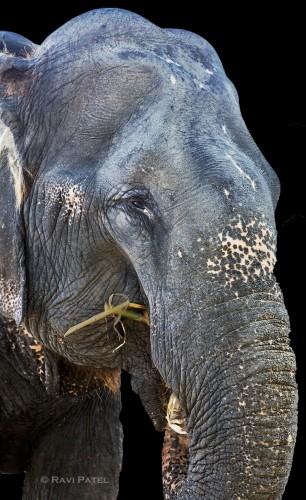 An Indian Elephant Portrait