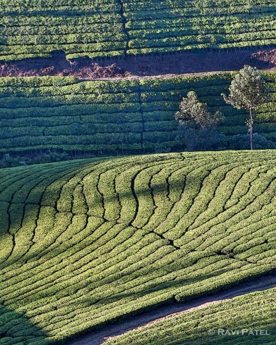 Designs in a Tea Plantation