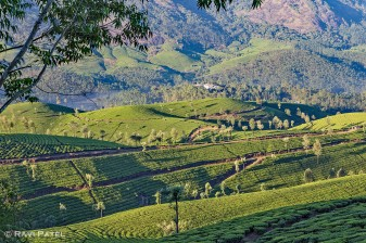 Looking Over Tea Plantations in Munnar