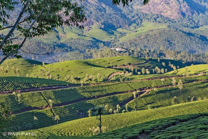 Looking Over Tea Plantations in Munnar