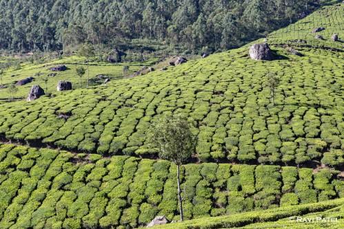 Patterns in a Tea Plantation