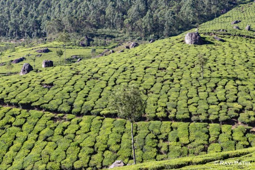 Patterns in a Tea Plantation