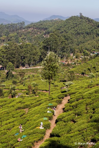 Picking Tea Leaves in the Hills of Munnar