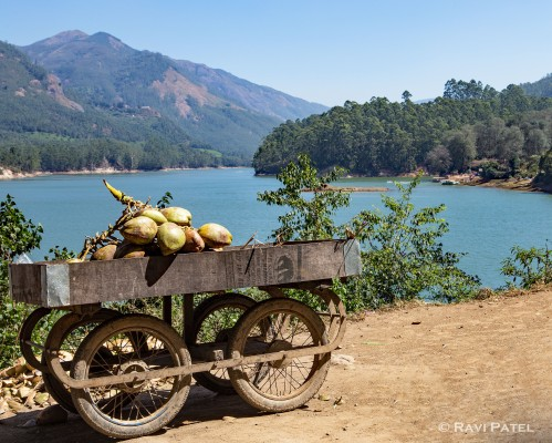Selling Coconuts by Lake Cumberland Munnar