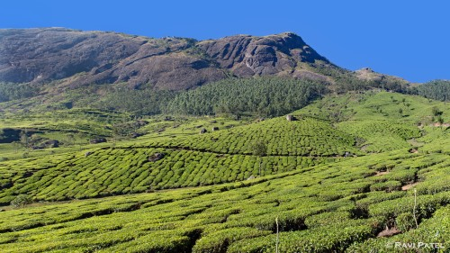 Tea Estates of Munnar