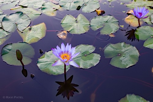 A Colorful Water Lily
