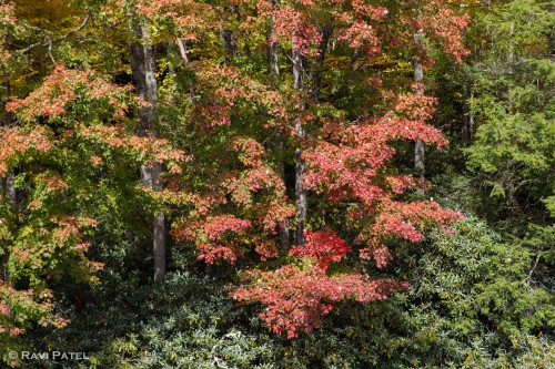 Fall Color Midst Greenery