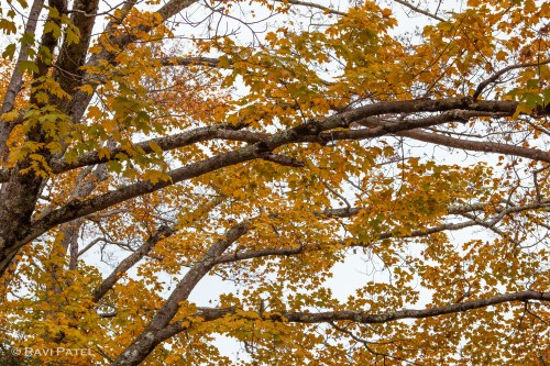 A Fall Color Canopy