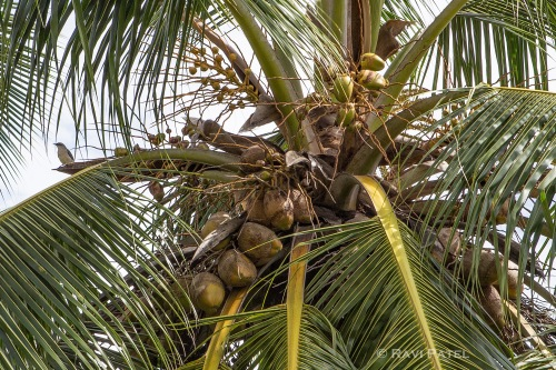 A Bird Midst Coconuts
